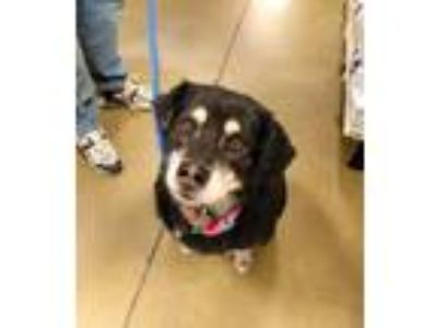 Adopt Big Bear a Australian Shepherd, Border Collie