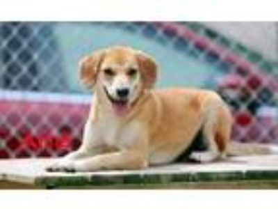 Adopt Anne a Tan/Yellow/Fawn Mixed Breed (Medium) / Mixed dog in Charleston