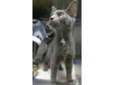 Adopt Ember a Gray or Blue Domestic Mediumhair / Domestic Shorthair / Mixed cat