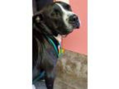 Adopt SYLVESTER a Boxer, Pit Bull Terrier
