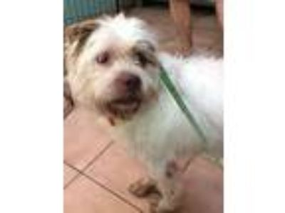 Adopt Suzy Q needs home a Wirehaired Pointing Griffon, Wheaten Terrier