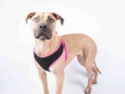 Adopt HONEY a Tan/Yellow/Fawn - with Black American Pit Bull Terrier / Mixed dog
