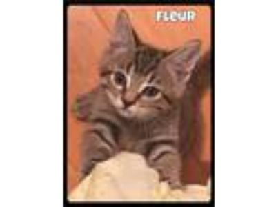 Adopt Fleur - Foster / 2019 a Brown Tabby Domestic Shorthair / Mixed (short