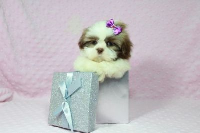 Teacup Shih Tzu Puppy Available at Our Store in Las Vegas / Shipping
