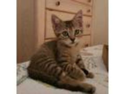 Adopt CHARLIE a Brown or Chocolate (Mostly) Domestic Shorthair / Mixed (short