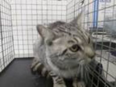 Adopt Macy a Gray or Blue Domestic Shorthair cat in Weatherford, TX (25760207)