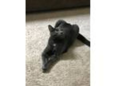 Adopt Gandalf a Gray or Blue American Wirehair / Mixed cat in Marlton