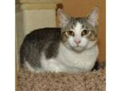 Adopt Stewie a Brown Tabby Domestic Shorthair / Mixed (short coat) cat in