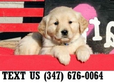Golden Retriever Puppies - Hartford Classifieds - Claz org