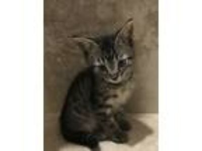 Adopt Emily a Gray, Blue or Silver Tabby Domestic Shorthair (short coat) cat in