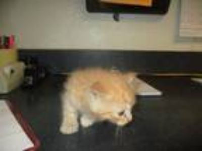 Adopt 123012 a Orange or Red Domestic Shorthair / Mixed (short coat) cat in