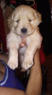 We have a Golden Retriever Puppies i need to re-home