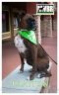 Clayton Boxer Dog