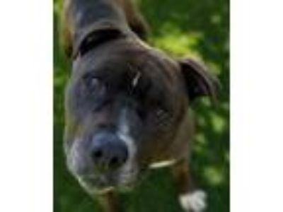 Adopt Boy a Pit Bull Terrier, Mixed Breed