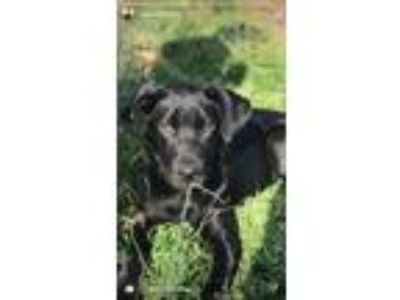 Adopt Maxwell a Black - with White Labrador Retriever / Mixed dog in Moore