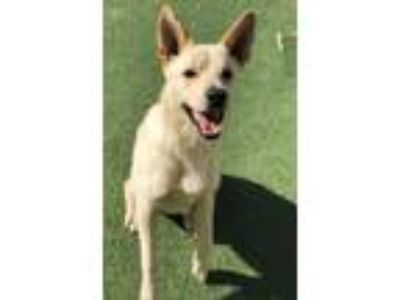 Adopt Benny-$75 Diamond Dog a Husky / Labrador Retriever / Mixed dog in