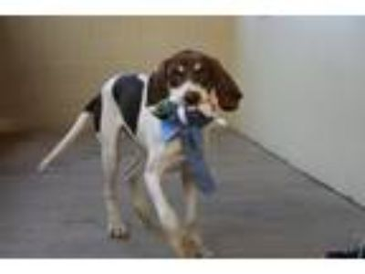 Adopt Blue a White - with Brown or Chocolate Hound (Unknown Type) / Mixed dog in