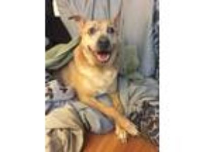 Adopt Saige a Tan/Yellow/Fawn - with White German Shepherd Dog / Mixed dog in