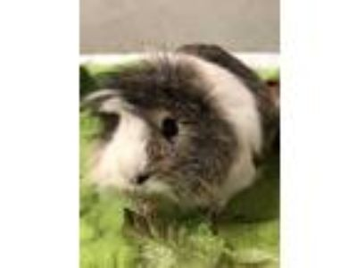 Adopt Oliver a Brown or Chocolate Guinea Pig (long coat) small animal in