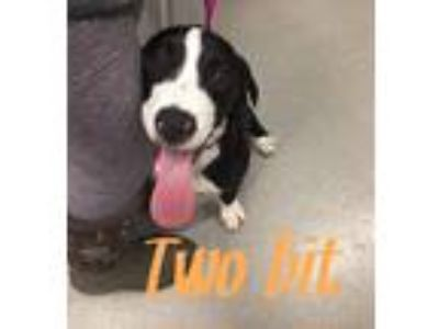 Adopt Two-Bit a Black - with White Labrador Retriever dog in Dickson