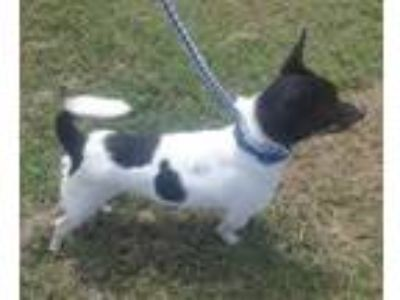 Adopt Buck a White Rat Terrier / Mixed dog in Walpole, MA (25588330)