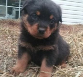 WARMHEARTED Rottweiler puppies ready