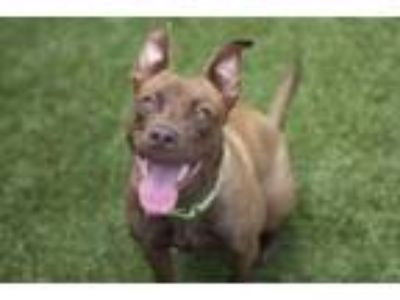 Adopt Hennessy a Pit Bull Terrier, Mixed Breed