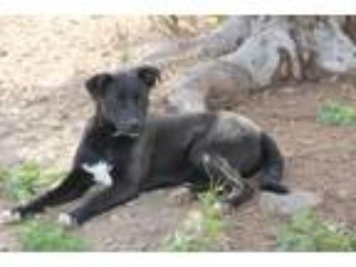 Adopt Little Boo Boo a Shepherd, Labrador Retriever