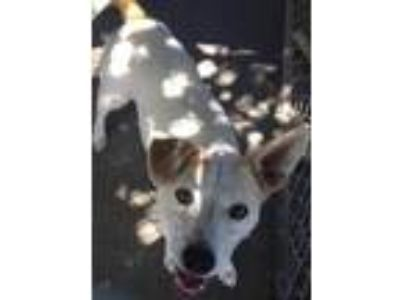 Adopt Coconut a Jack Russell Terrier