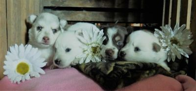 Pomsky PUPPY FOR SALE ADN-97025 - White Pomsky Pup Husky Ears