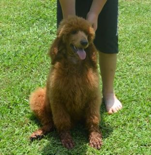 Poodle (Standard) PUPPY FOR SALE ADN-88309 - AKC Riggs