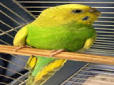 Adopt CHICHI a Green Parakeet - Other / Mixed bird in Plano, TX (25558421)