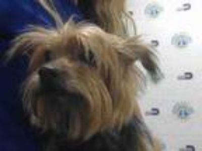 Adopt BILLY a Yorkshire Terrier