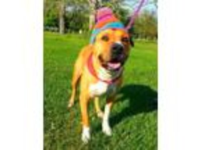 Adopt Arnie - N a Tan/Yellow/Fawn - with White Boxer / Shar Pei / Mixed dog in
