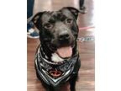 Adopt Duncan a Black - with White American Pit Bull Terrier / Labrador Retriever