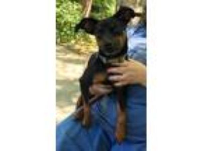 Adopt Zach a Miniature Pinscher / Mixed dog in Chaska, MN (25509168)