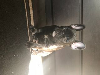 French Bulldog PUPPY FOR SALE ADN-71216 - Beautiful Female Puppy AKC 11 wks