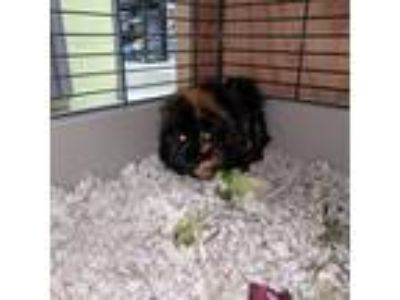 Adopt Fiona a Black Guinea Pig (short coat) small animal in Wheaton