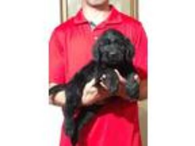 Adopt Sport a Black Labrador Retriever / Poodle (Standard) / Mixed dog in