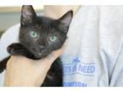 Adopt FRENCH TOAST a Domestic Shorthair / Mixed (short coat) cat in Redwood