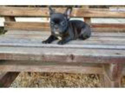 AKC French Bulldog Girl