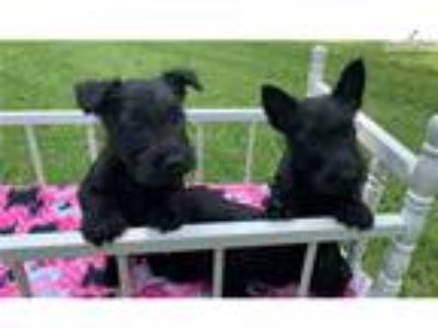 Scottish Terrier Female