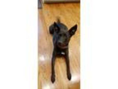 Adopt Stephen Elsbree a Black Canaan Dog / German Shepherd Dog dog in Kennesaw