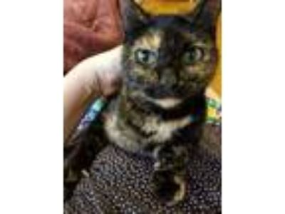 Adopt Sweetie Pie a Tortoiseshell American Shorthair / Mixed cat in Columbus