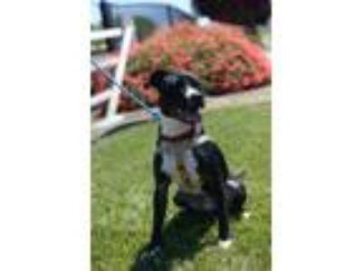 Adopt Monty a Border Collie, American Staffordshire Terrier