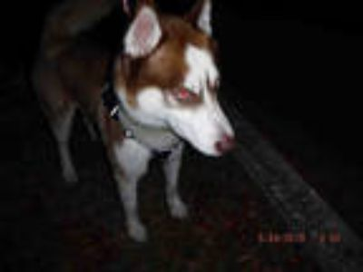 Adopt CHUCK a Red/Golden/Orange/Chestnut - with White Husky / Mixed dog in