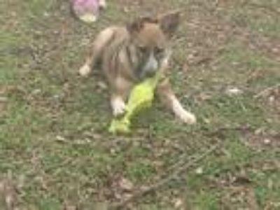 Adopt Missy a Red/Golden/Orange/Chestnut - with Black Australian Shepherd /