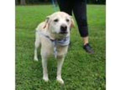 Adopt Max a Tan/Yellow/Fawn Labrador Retriever / Mixed dog in Spartanburg