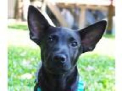 Adopt Barry a Black Labrador Retriever / Terrier (Unknown Type