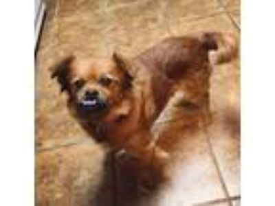 Adopt Callie a Red/Golden/Orange/Chestnut Pekingese / Mixed dog in Plainfield